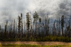 Scorched forest, tall trees with charred trunks and bark, green stock photo