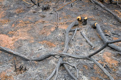 Scorched ground. And cut branches Stock Photos