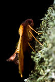Scorched wing moth (Plagodis dolabraria) on lichen Stock Photo