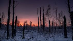 Scorcher forest in winter royalty free stock photos