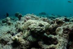 Scorfano del diavolo su fondo del mare nel parco nazionale di Wakatobi Fotografie Stock Libere da Diritti