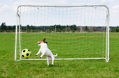 Scoring soccer goal to funny keeper at football pitch. Jack Russell Terrier dog playing with ball stock photos