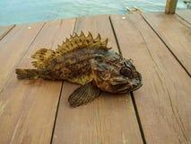 Scorpaena do Mar Negro - pavão-do-mar Fotos de Stock