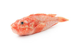Scorpaena onaria fish Royalty Free Stock Image