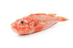Free Scorpaena Onaria Fish Royalty Free Stock Image - 17051526