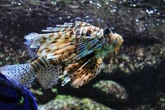Scorpaenidaevissen in een aquarium royalty-vrije stock foto