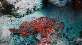 Scorpaenopsis oxycephala Fotografia Stock