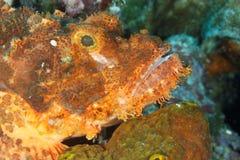 Scorpaenopsis oxycephala - Scorpionfish stock image
