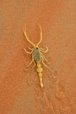 Scorpian Arabe Images stock