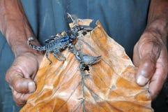 Scorpio на острове Шри-Ланки Стоковая Фотография