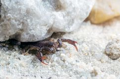 Scorpio hiding under a stone, close up.  royalty free stock photos