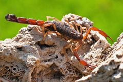 Scorpio Madagascar. (Grosphus flavopiceus stock photos