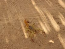 Scorpio on the sand in its natural habitat, Africa clear day.  royalty free stock photos