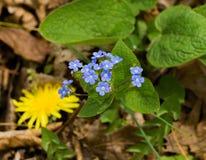"""Scorpioides del Myosotis de la nomeolvides del †verdadero del Wildflower """" fotos de archivo libres de regalías"""