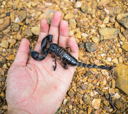 Scorpion à disposition Image stock