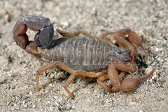 Scorpion Stock Photo