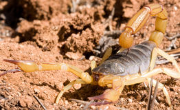 Scorpion Royalty Free Stock Photos