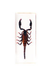 Scorpion. The scorpion on a white background Royalty Free Stock Images