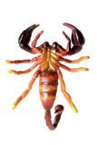 scorpion Royaltyfria Bilder