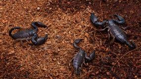 Scorpion Royalty Free Stock Photography
