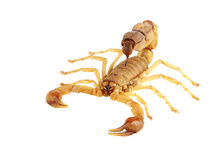 Scorpion Photographie stock libre de droits