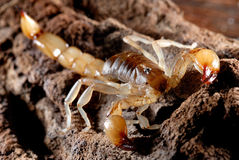 Scorpion Stock Image