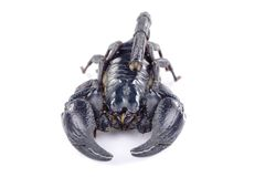 Scorpion Image stock