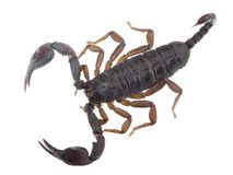 Scorpion. Ready to fight on white background royalty free stock photography