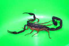 scorpion Stockbild
