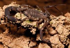 scorpion Arkivbild