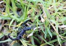 scorpion Foto de Stock Royalty Free
