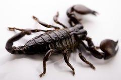 Scorpion. S are eight-legged carnivorous arthropods stock photography