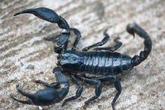 scorpion Lizenzfreie Stockfotografie