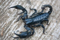 scorpion Stockbilder