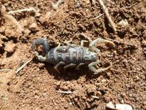 scorpion Fotografia de Stock Royalty Free