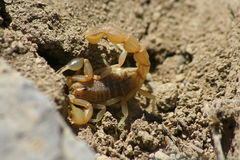 Scorpion. Yellow scorpion on the sand in the desert Stock Photography