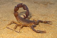 Scorpion agressif Photo libre de droits
