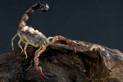 Scorpion with babies. The fatal part of the scorpion is in its tail. The powerful sting is filled by venom glands and capable of injecting large quantities of Stock Photography
