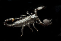 Scorpion on Black Royalty Free Stock Photography