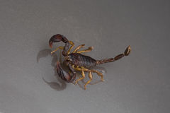 Scorpion on a black background Stock Image