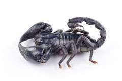 Scorpion. Black scorpion isolated on white backgroun Royalty Free Stock Photography