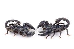 Scorpion. Black scorpion isolated on white backgroun royalty free stock photo