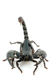 Scorpion. Black scorpio on white isolated, a lot of copy space and space for your text available stock photos