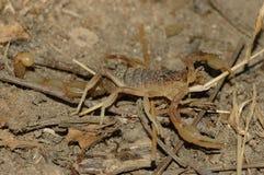 Scorpion (Buthus occitanus). Common Yellow Scorpion (Buthus occitanus) warming on a stone Stock Photos