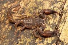 Scorpion, Chaerilus pictus, Chaerilidae, Jampue hills, Tripura , India. Scorpion, Chaerilus pictus, Chaerilidae, Jampue hills Tripura state of India royalty free stock photo