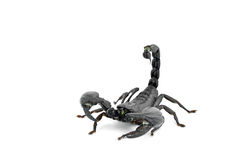 Scorpion Chang Royalty Free Stock Photos