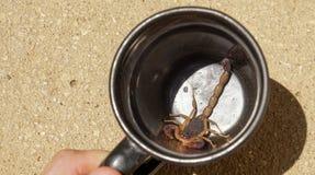 Scorpion in a coffee mug / cup in Tamarindo, Costa Rica.  Stock Photo