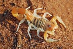Scorpion, désert de Nambia Image libre de droits