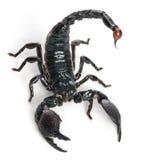 Scorpion d'empereur, imperator de Pandinus Photographie stock libre de droits