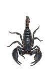 Scorpion d'isolement sur le fond blanc Photos libres de droits